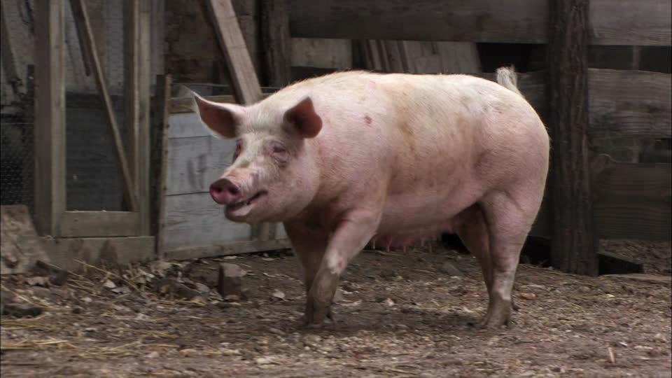997567139-pocilga-cerda-cerdo-granja